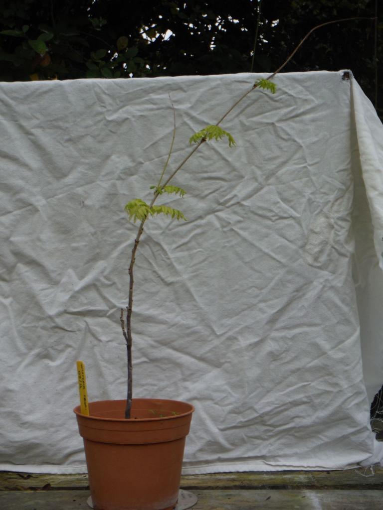 Wistéria floribunda