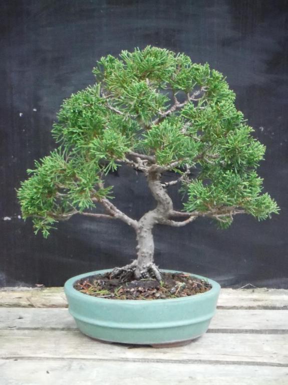 Juniperus Chinensis 01 - Octobre 2015