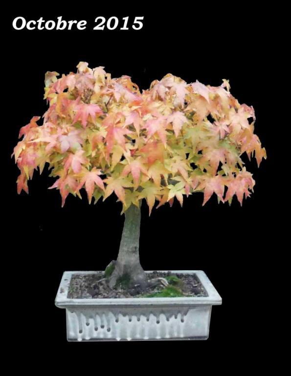 Acer palmatum 01 - Octobre 2015