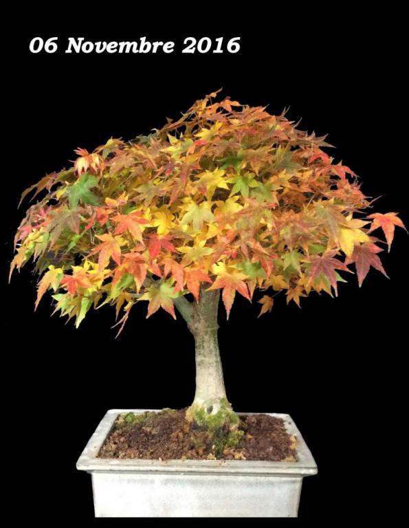 Acer palmatum 01 - 06 Novembre 2016