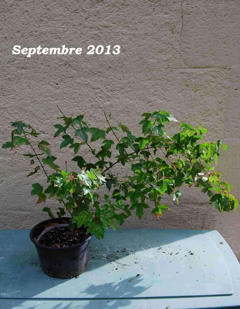 Acer palmatum 02 : Septembre 2013