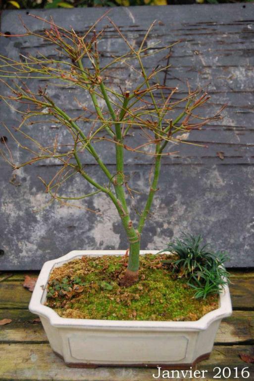 Acer palmatum 05 : Janvier 2016