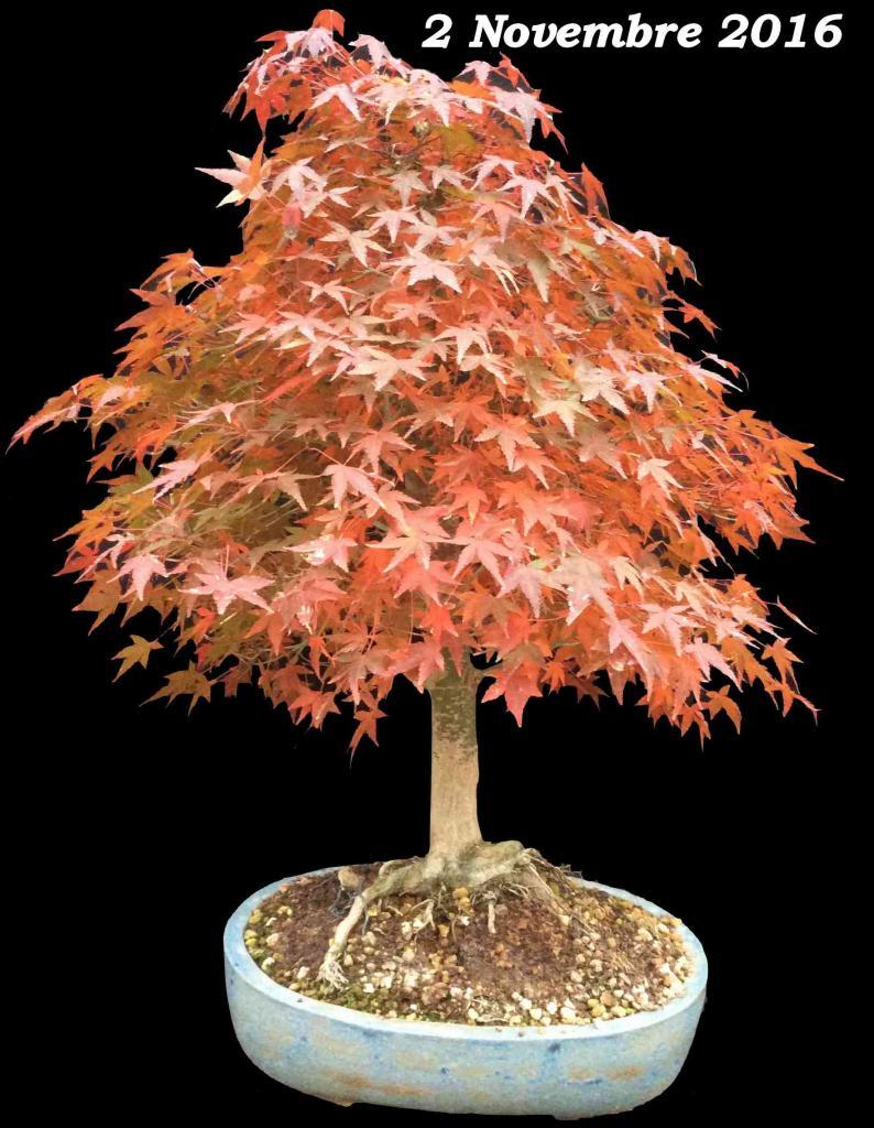 Acer palmatum 07 - 02 Novembre 2016