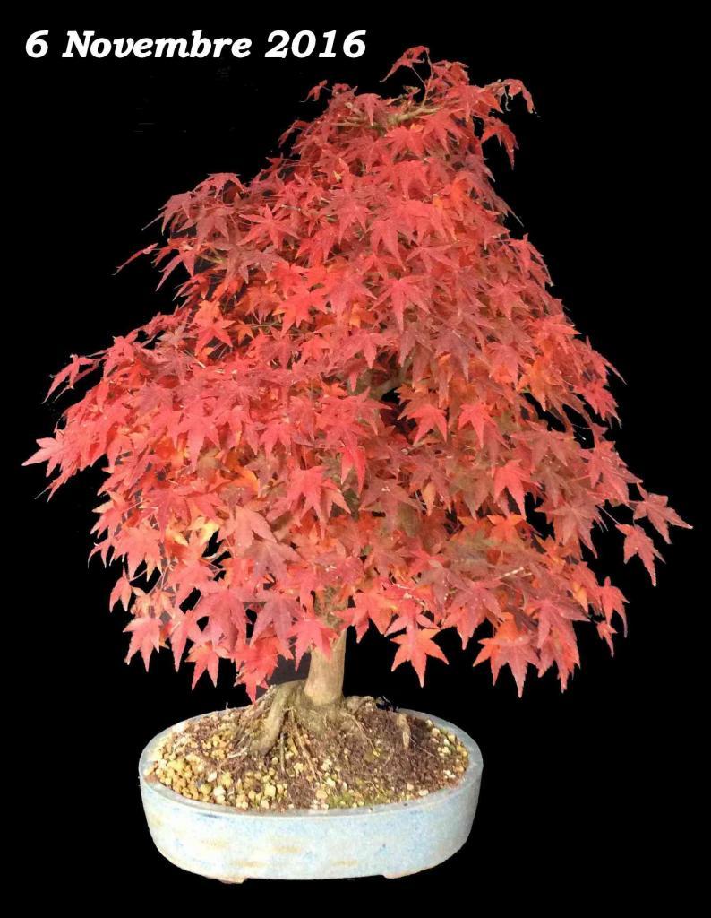 Acer palmatum 07 - 06 Novembre 2016