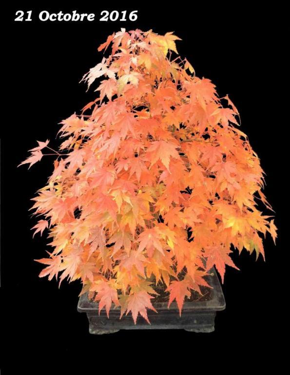 Acer palmatum 08 - 21 Octobre 2016