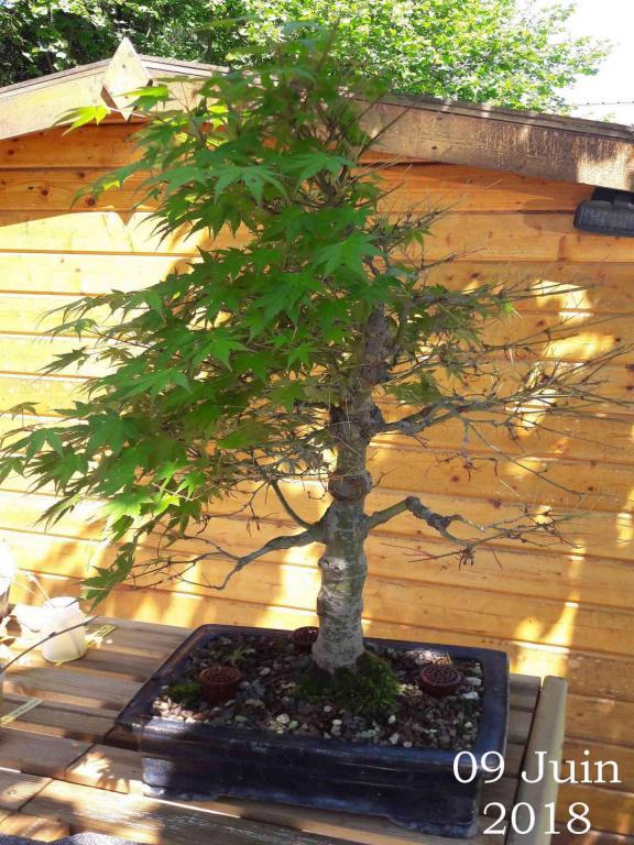 Acer palmatum 08 - 09 Juin 2018 - défoliation en cours