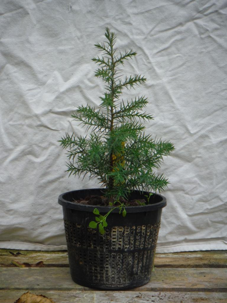 juniperus chinensis 02