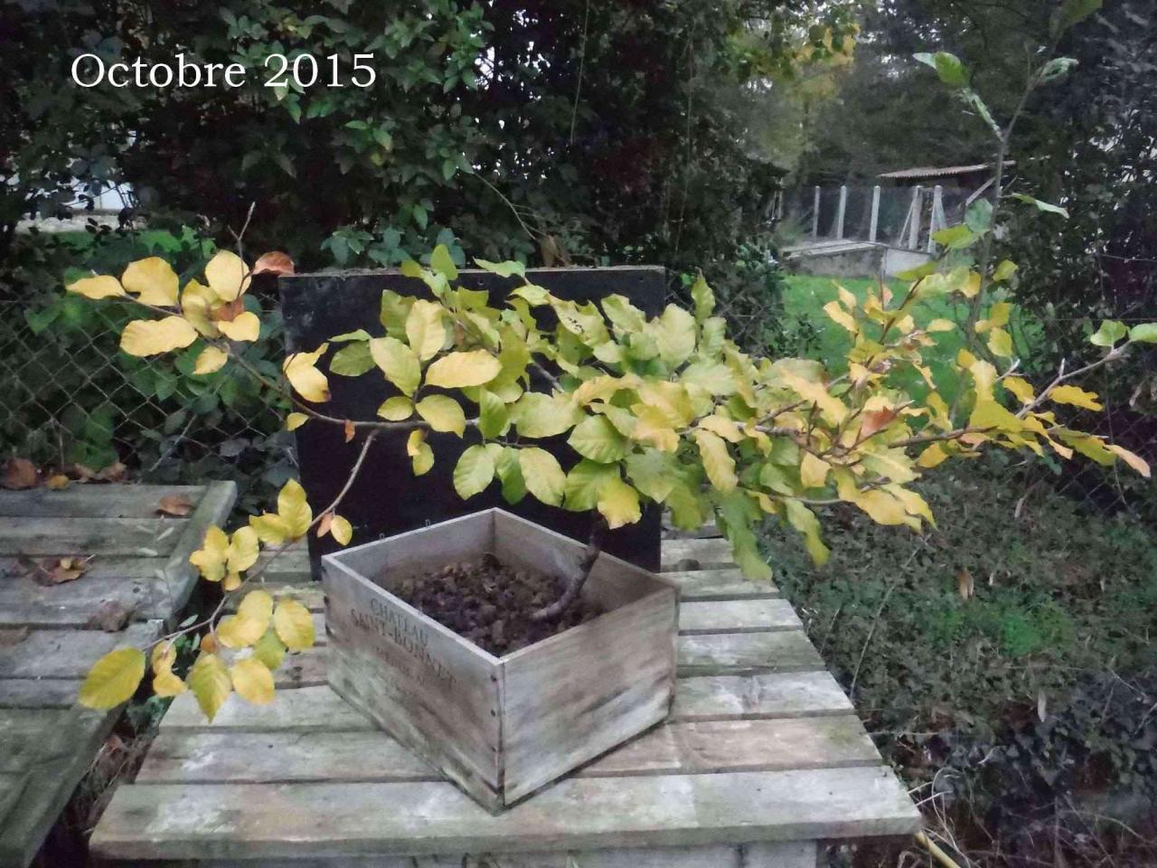 fagus sylvatica : Octobre 2015