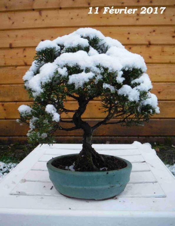 juniperus chinensis 01 - 11 Février 2017 neige