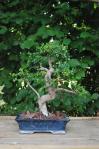 Ulmus Parvifolia 01