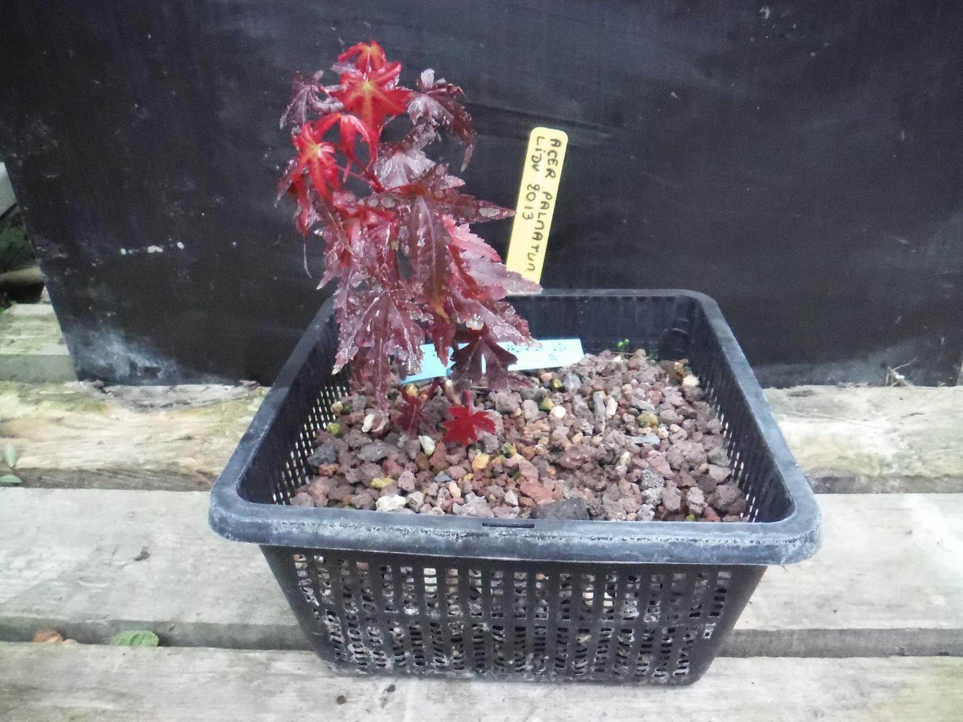 Acer Palmatum 04