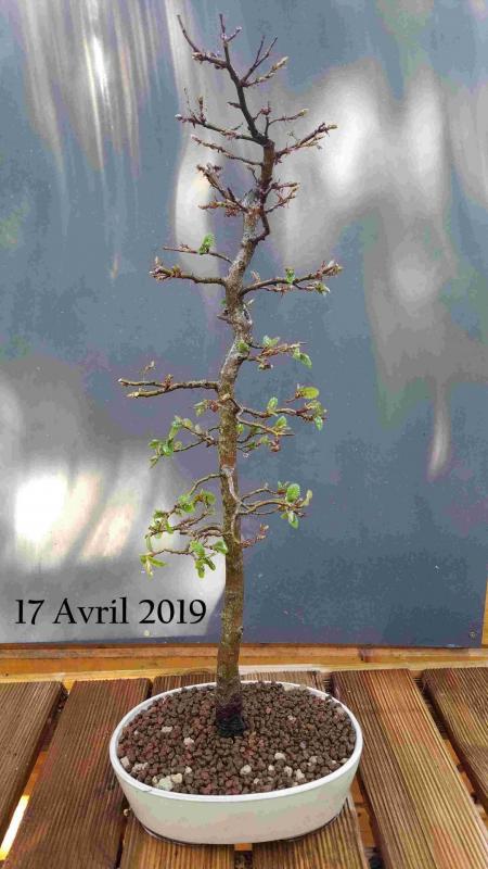 Fagus sylvatica 02 2019 04 17